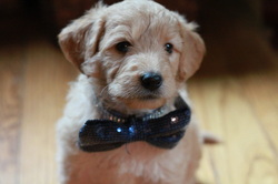 Goldendoodle puppy Rochester NY