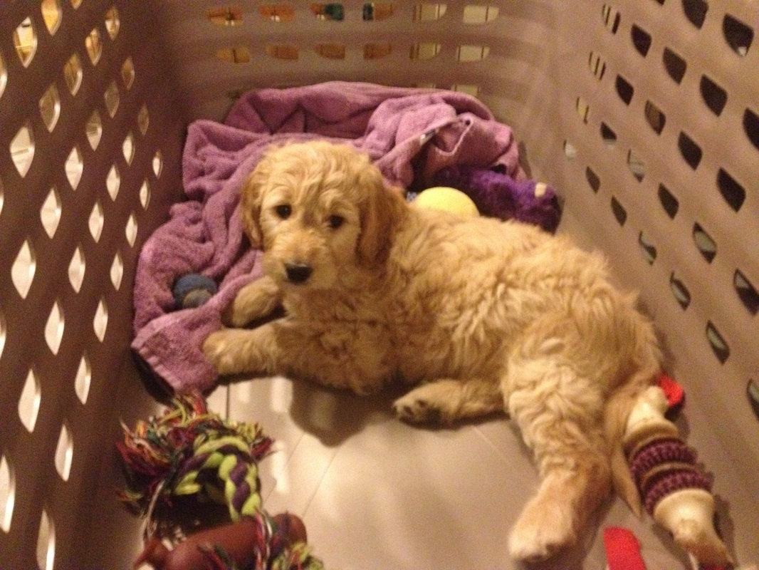 Einstein (from Jada '13) in his crate at 8 weeks