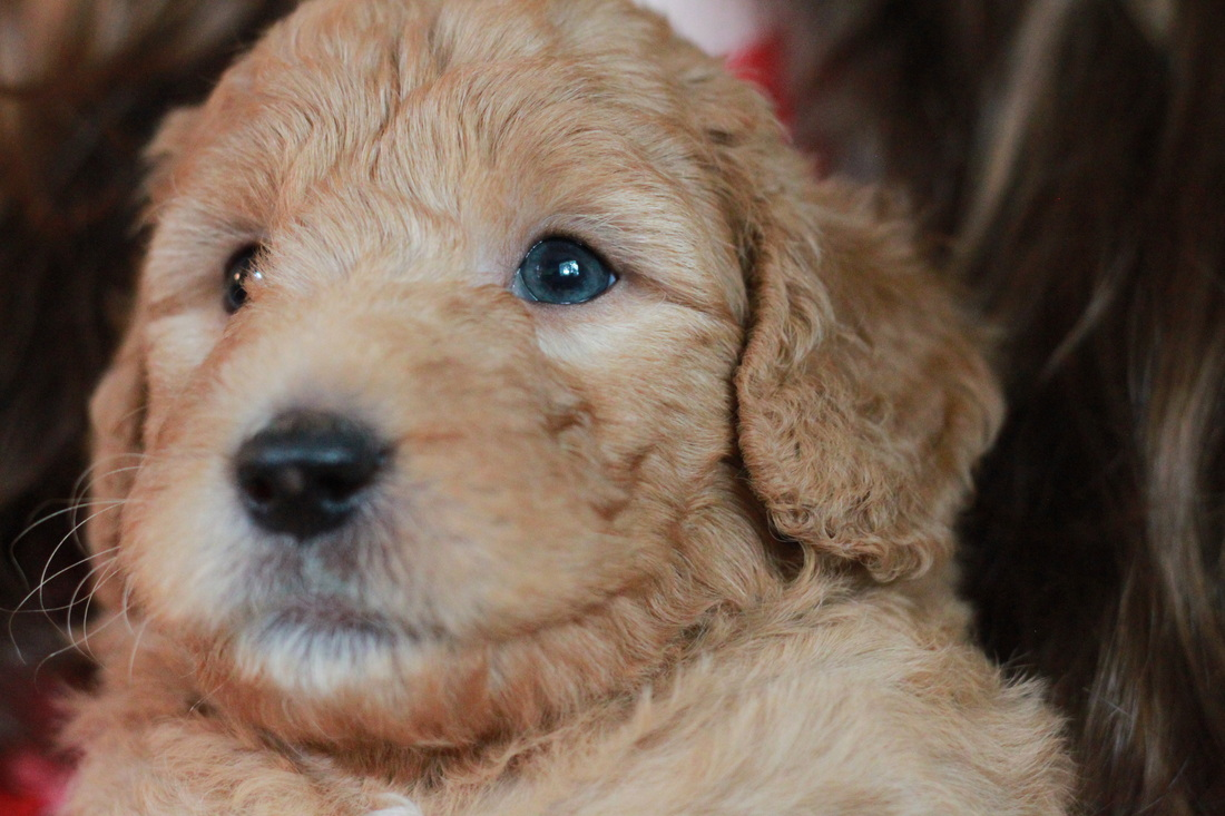 Apricot Goldendoodle Puppies NY