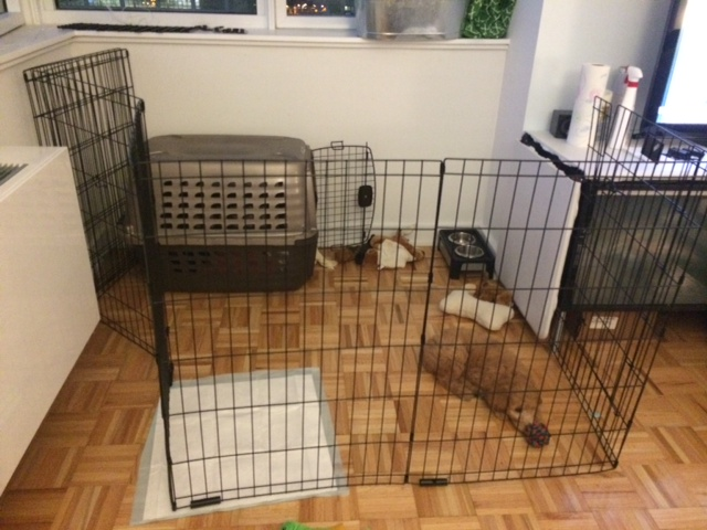Puppy exercise pen in NYC apartment
