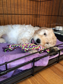 puppy crate training goldendoodles