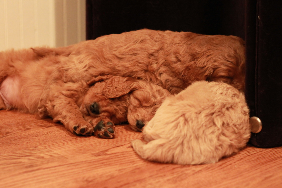 River Valley Goldendoodles NY