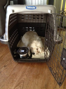 goldendoodle puppy in dog crate