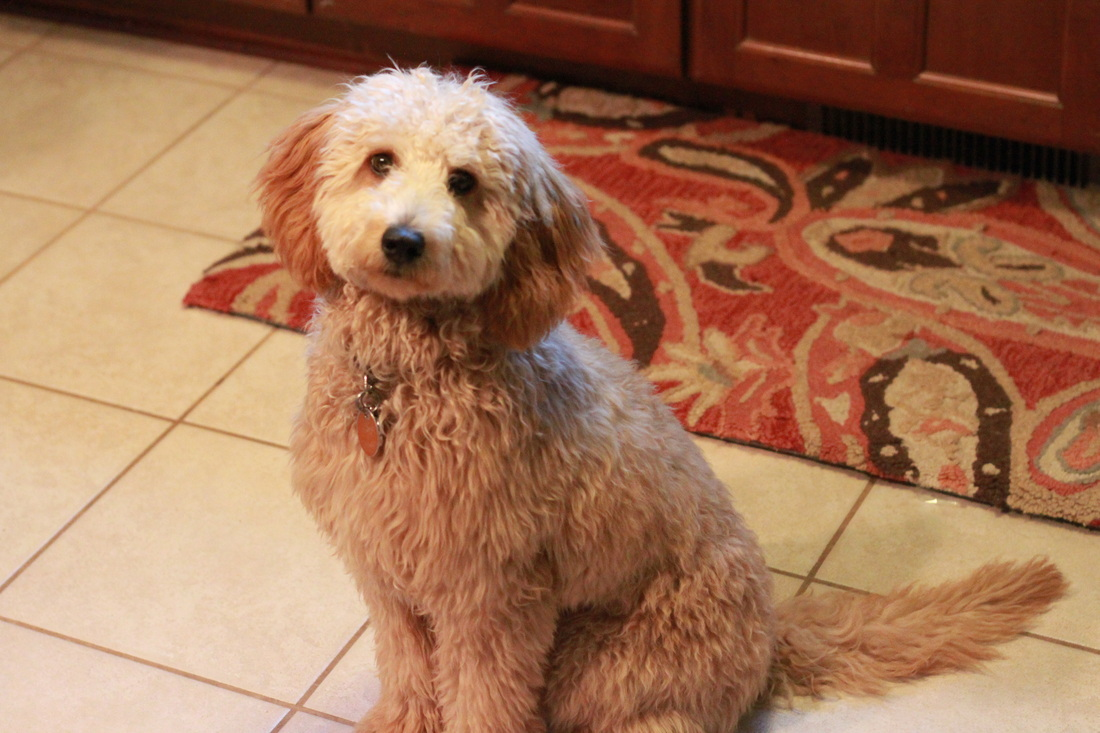 Goldendoodle Angel, apricot