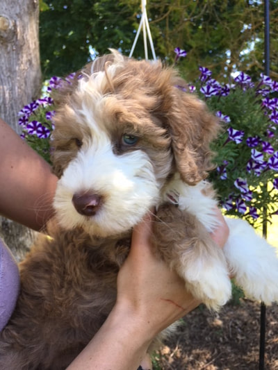 Penny Mini Sheepadoodle Puppies Ready 6/16 - Goldendoodle Breeder NY
