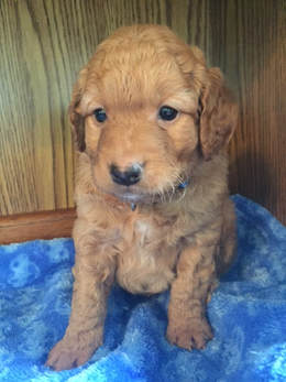 ni Red Goldendoodle Puppy