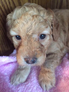 Mini Red Goldendoodle Puppy