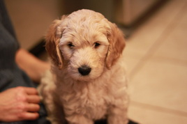 River Valley goldendoodle puppy NY