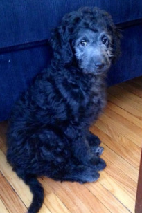 Black goldendoodle puppy from River Valley Doodles New York