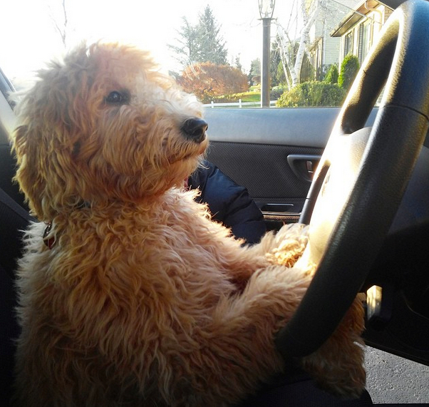 Hudson Goldendoodle from River Valley Doodles breeder NY
