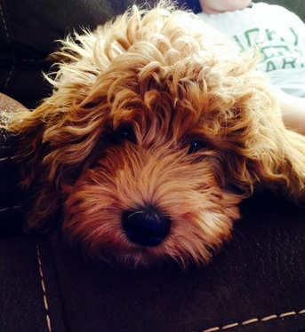 Red Goldendoodle Puppy breeder NY