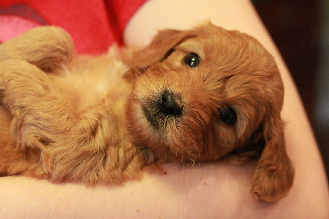 Goldendoodle Puppies For Sale Goldendoodle Breeder Ny