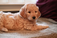 River Valley Goldendoodle Puppy