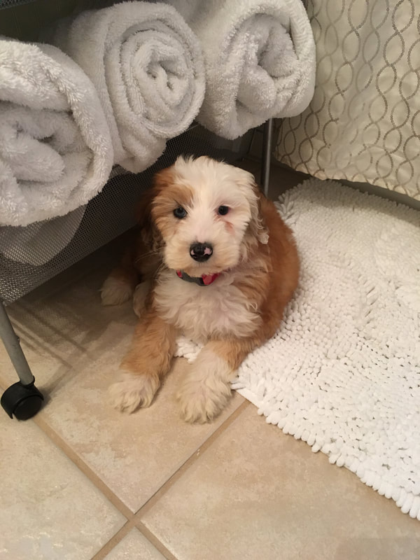 Mini Sheepadoodle Puppy