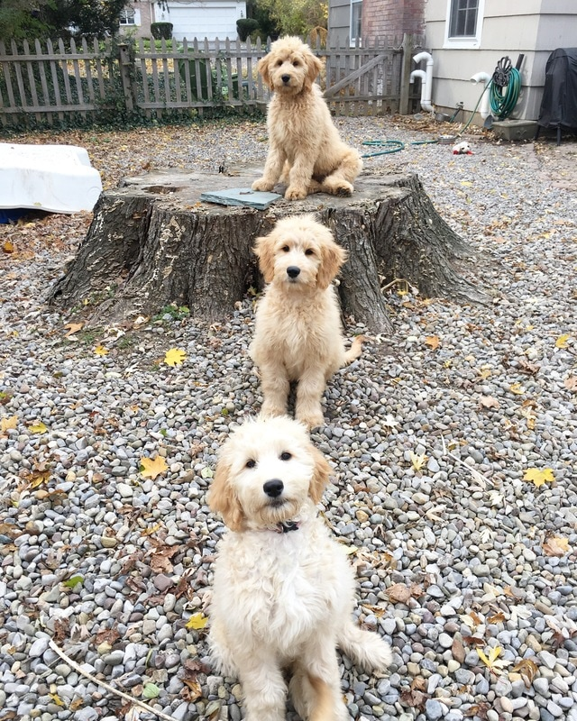Goldendoodle Puppies in Training