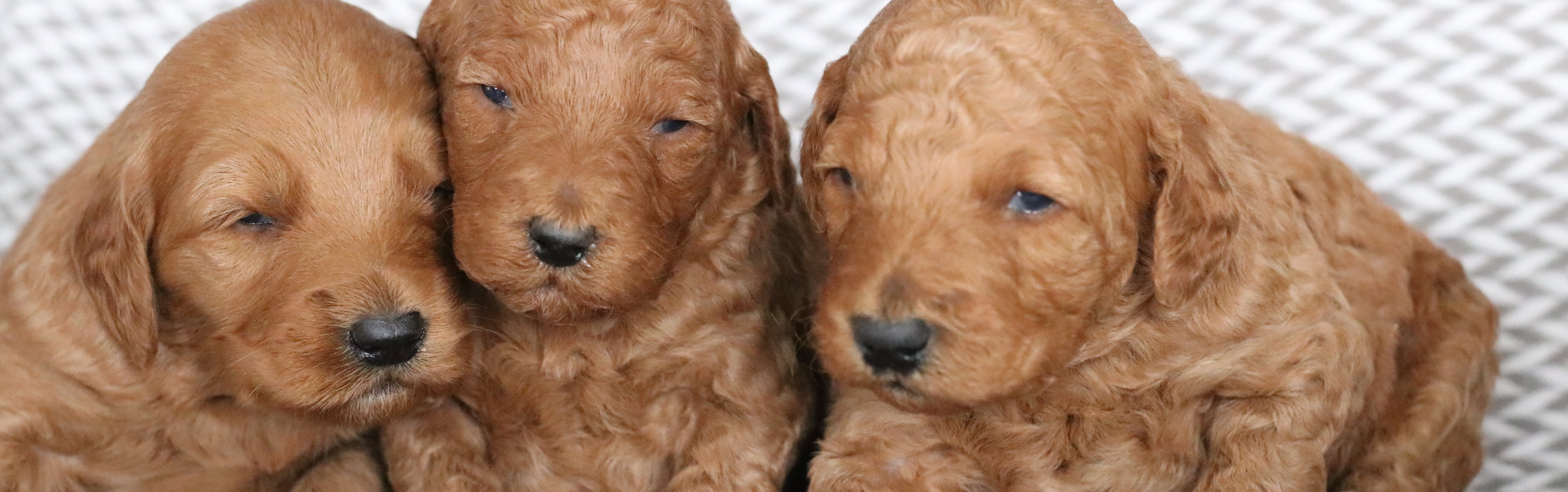 Cinnamon X Carlos Cruz Mini Red F1b Goldendoodles Ready 2 23 Goldendoodle Breeder Ny Goldendoodle Puppies Ny Mini Sheepadoodle Puppies Doodles By River Valley Doodle Puppies