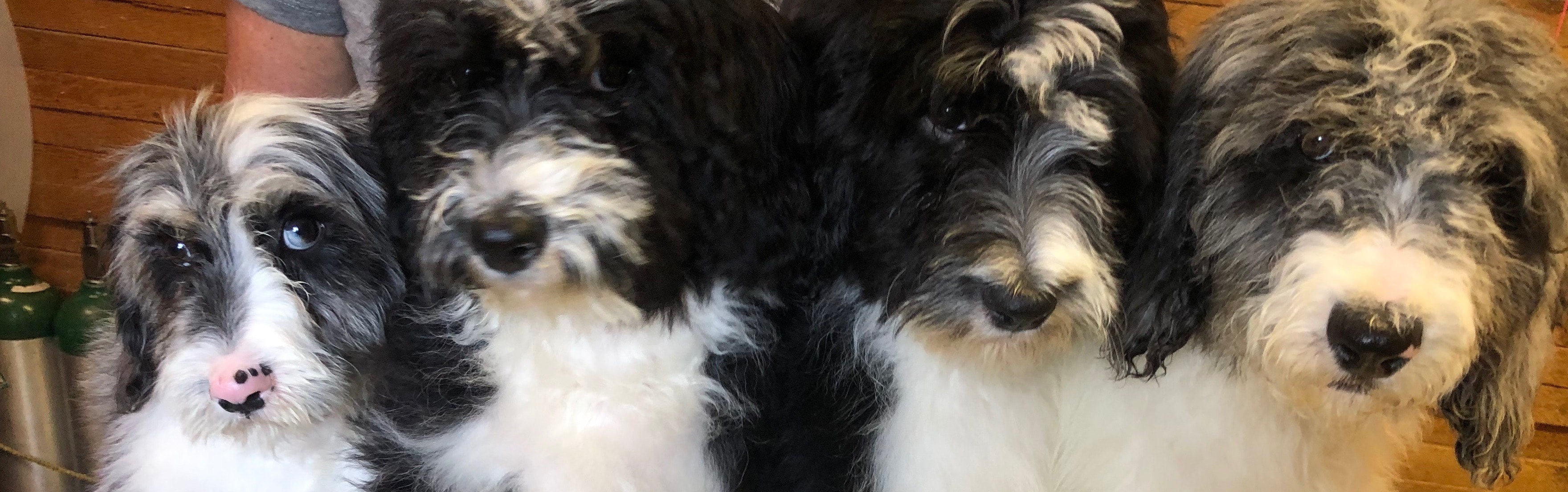 Sheepadoodles Moyen Sized F1b Ready Now Started Puppies Goldendoodle Breeder Ny Goldendoodle Puppies Ny Mini Sheepadoodle Puppies Doodles By River Valley Doodle Puppies