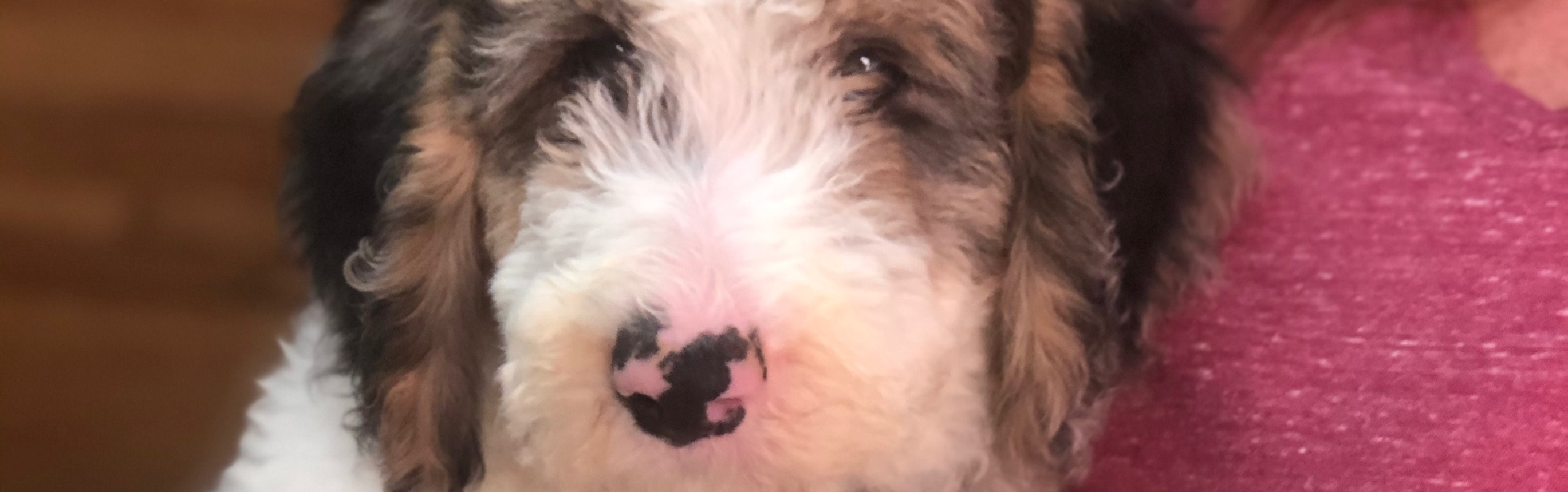 F1b Sheepadoodles By Natty 4 Started Puppies Ready Now Goldendoodle Breeder Ny Goldendoodle Puppies Ny Mini Sheepadoodle Puppies Doodles By River Valley Doodle Puppies